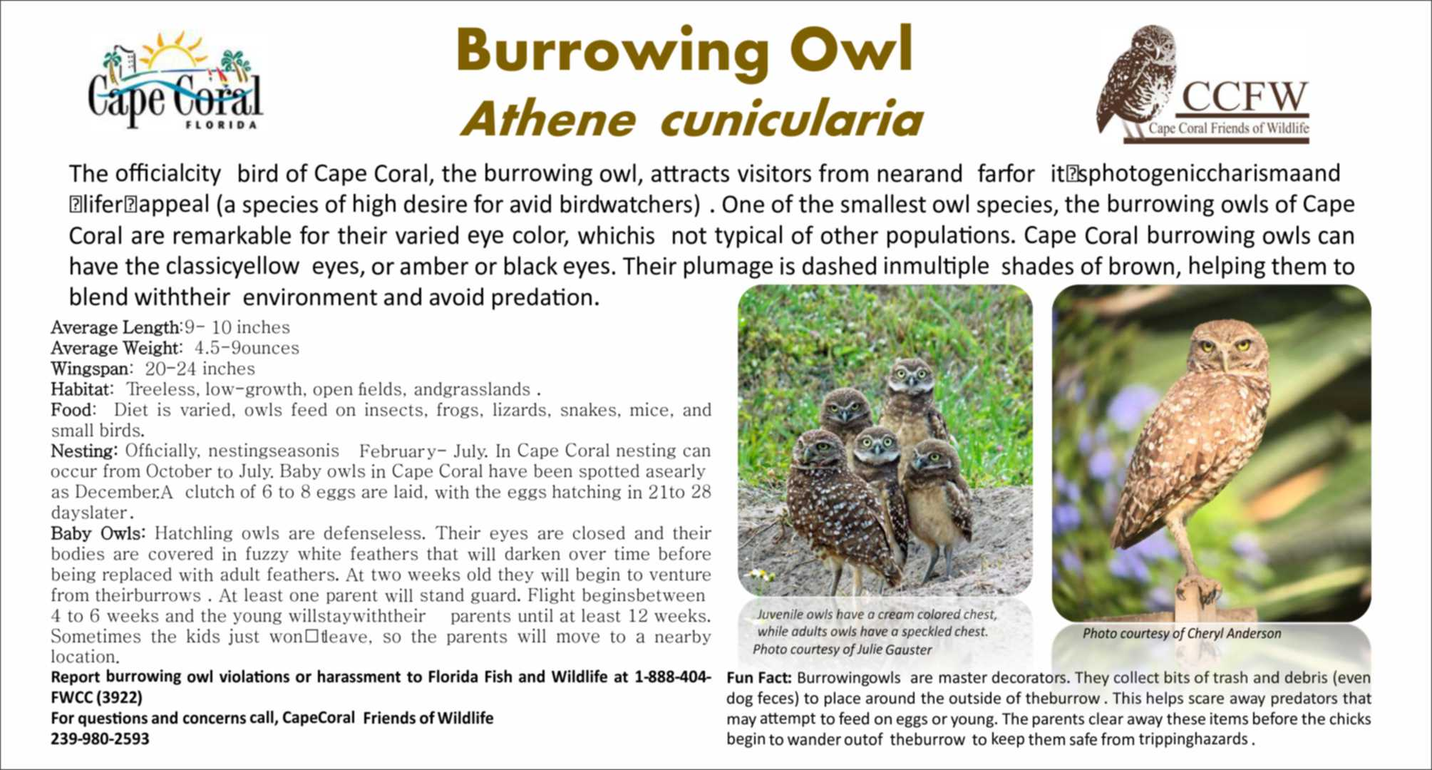 burrowing owl flyer 2